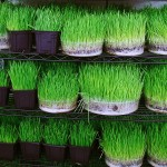 Greenery shop for the Haft Seen setting in Iran