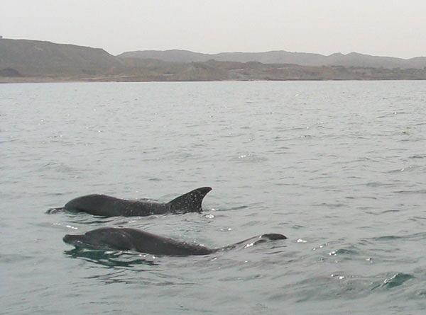 HengamDolphins