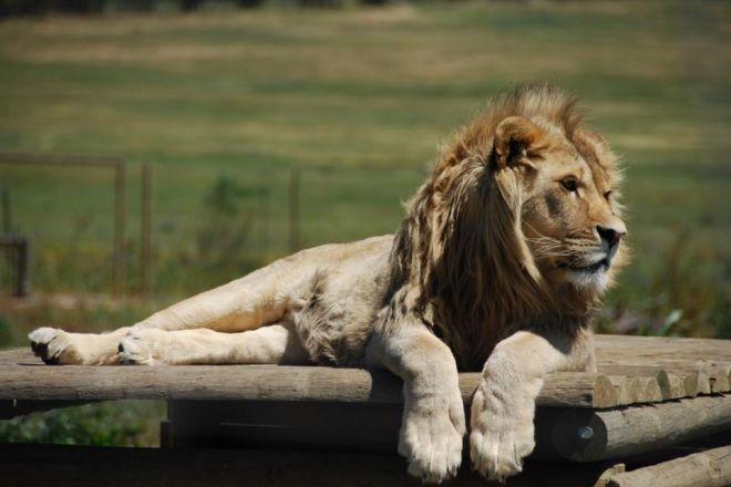 پارک شیر دراکنستاین Drakenstein Lion Park