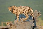 چیتا اوتریچ Cheetah Outreach